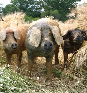 Labonca, die glücklichsten Schweine, selbst weit über das Thermenland hinaus.