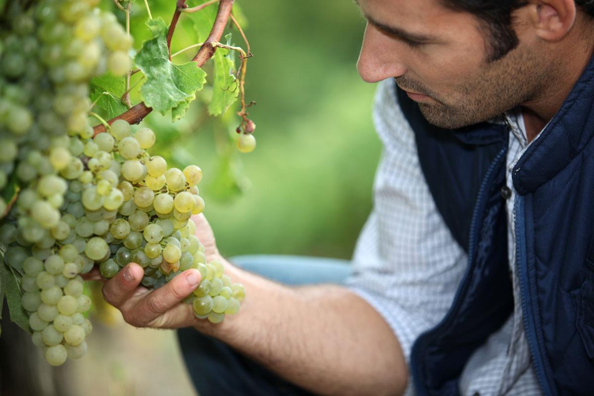 Auch die Qualität der Trauben im Thermenland lädt zum Verkosten ein.